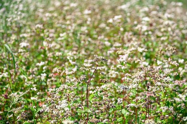 Champ de sarrasin, terres agricoles. plante de sarrasin en fleurs à fleurs blanches, mise au point sélective