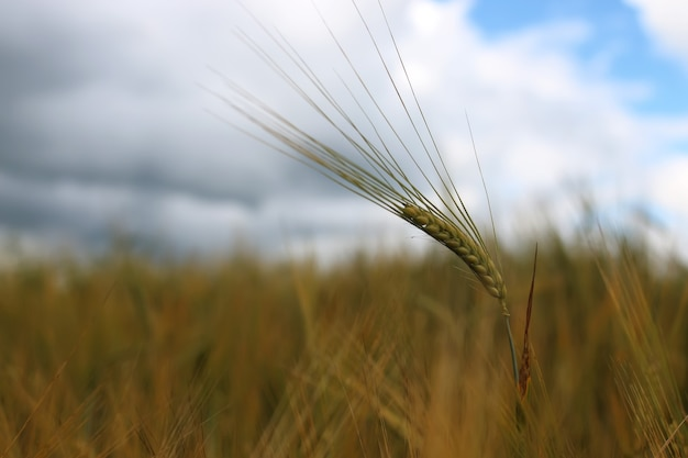 Champ de seigle de céréales