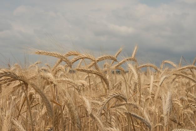 Champ de seigle. champ de blé avec le soleil gros plan sur les oreilles de blé doré. une nouvelle récolte de seigle