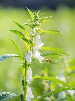 Champ de sésame avec de belles fleurs de sésame à taiwan