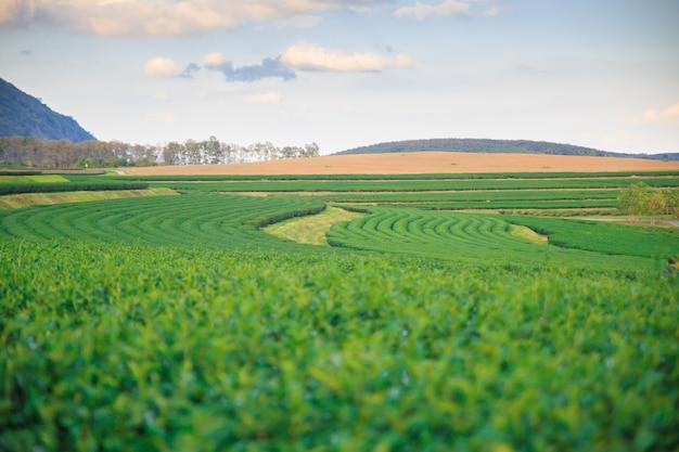 Champ de thé vert frais closeup avec fond de ciel bleu. concepts d'environnement.