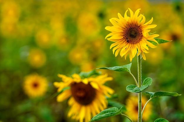 Champ de tournesol au soleil, paysage de fleurs lumineuses et vibrantes en été, belles fleurs de soleil, nombreuses plantes aux feuilles luxuriantes