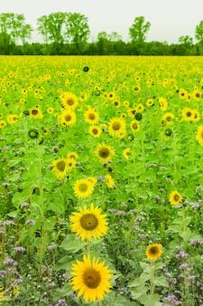 Champ de tournesol planté en graine pour la production d'huile.