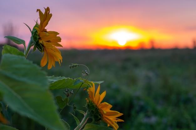 Champ de tournesols au coucher du soleil. paysage du village du soir.