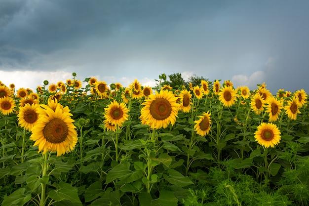 Un champ de tournesols avant la pluie. nuages de pluie noire sur un champ de tournesols