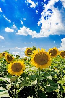 Champ de tournesols contre le ciel bleu. beau paysage