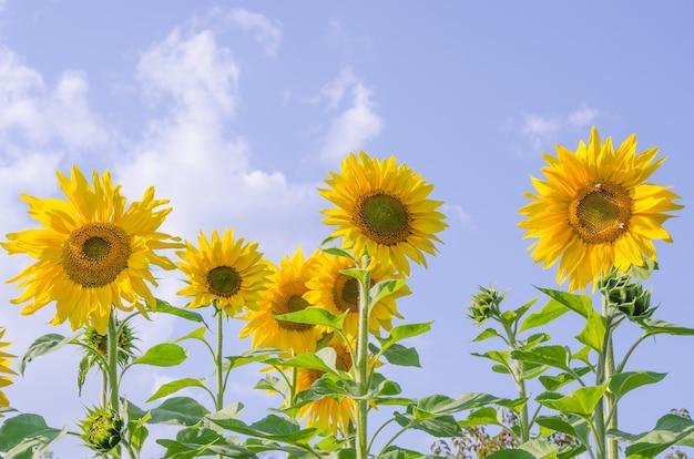 Un champ de tournesols en fleurs contre un ciel bleu avec copie espace, poussant pour l'huile de tournesol, pour l'ensilage. agriculture
