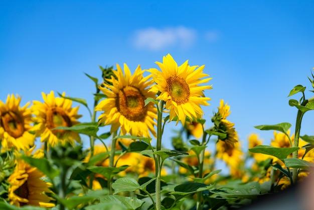 Champ de tournesols en fleurs contre le ciel bleu nuageux