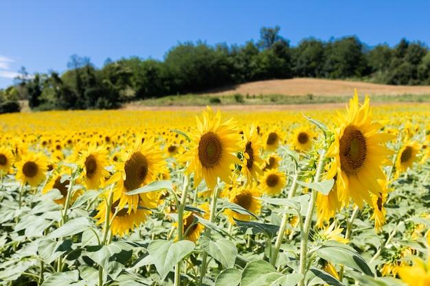 Champ de tournesols en italie. campagne pittoresque en toscane avec un ciel bleu profond.