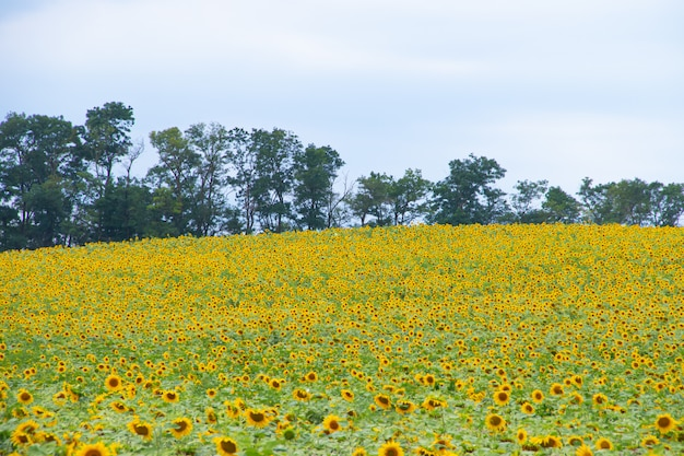 Un champ de tournesols