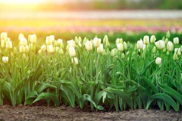 Champ de tulipes au printemps