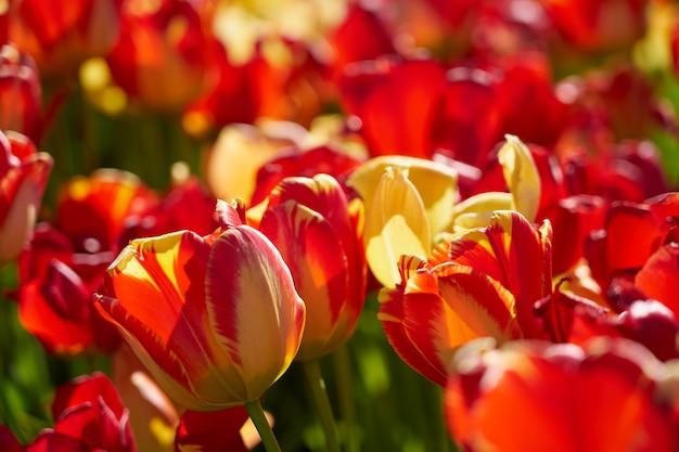 Un champ de tulipes au soleil