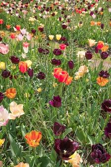 Champ de tulipes aux pays-bas ou en hollande