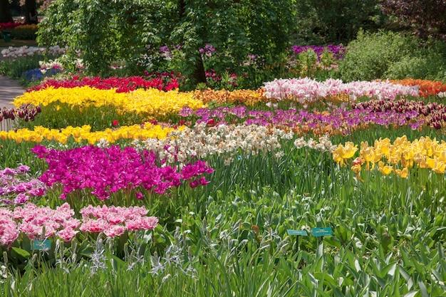 Le champ de tulipes aux pays-bas ou en hollande