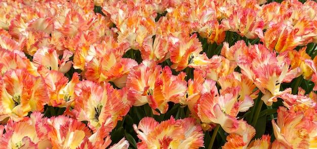 Le champ de tulipes aux pays-bas