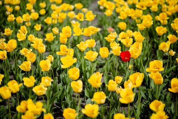 Champ de tulipes colorées