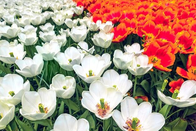 Le champ de tulipes dans le jardin fleuri de keukenhof, lisse, pays-bas, hollande