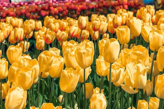 Champ de tulipes dans les jardins de keukenhof, lisse, pays-bas