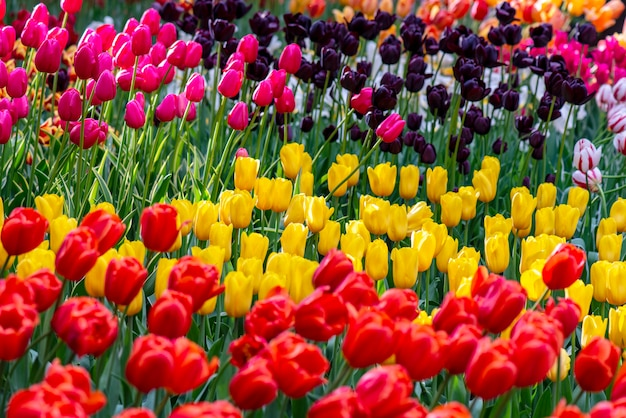 Champ de tulipes en hollande