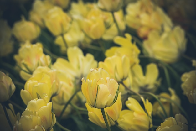 Champ de tulipes jaunes aux pays-bas
