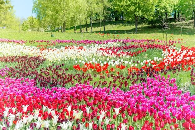 Champ de tulipes avec de nombreuses fleurs colorées dans le parc verdoyant