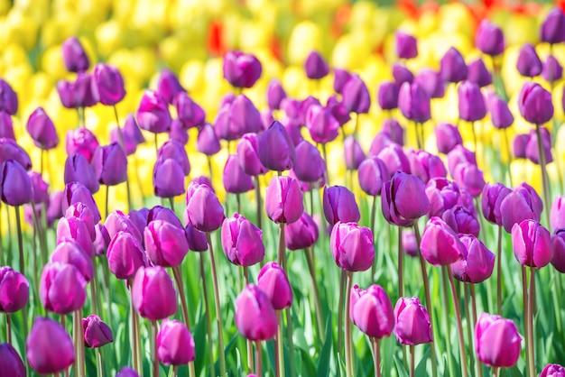 Champ de tulipes avec de nombreuses fleurs colorées dans le parc