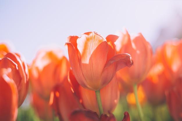 Un champ de tulipes orange de feu dans les rayons de la lumière du jour d'été
