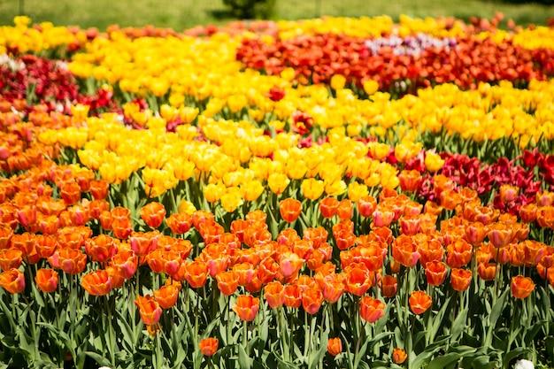 Champ de tulipes orange et jaune