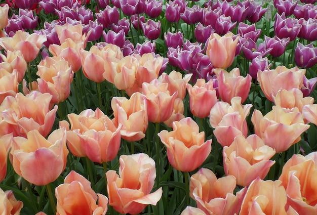 Champ de tulipes de rose pastel