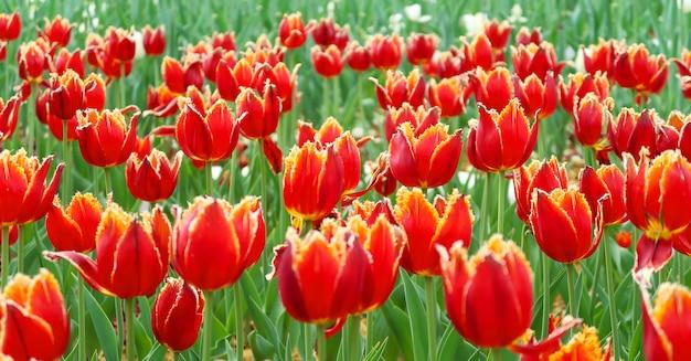 Champ de tulipes rouges au printemps