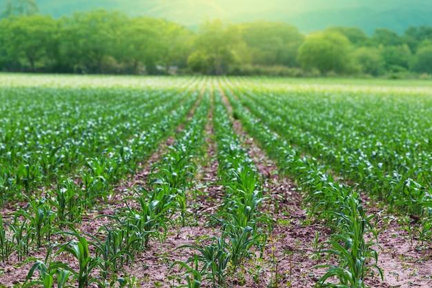 Champ vert au début de la saison estivale. thème agricole.