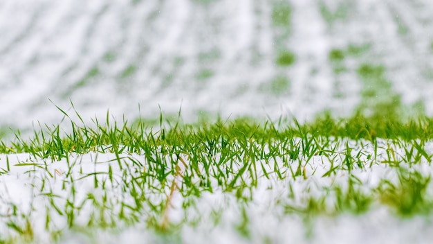 Champ vert couvert de neige de blé d'hiver, herbe sous la neige