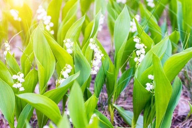 Champ vert de fleurs de forêt blanche muguet