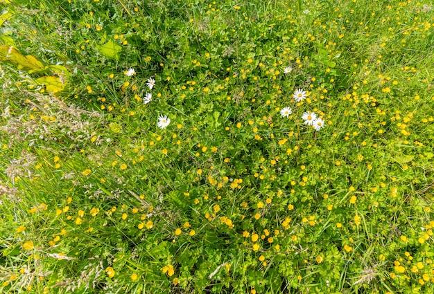 Champ vert avec des fleurs de renoncules tourné en arrière-plan. fond de sommer.