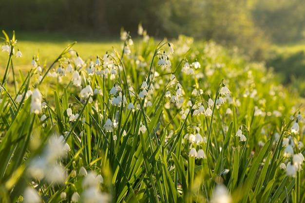 Champ vert frais avec des fleurs de printemps perce-neige