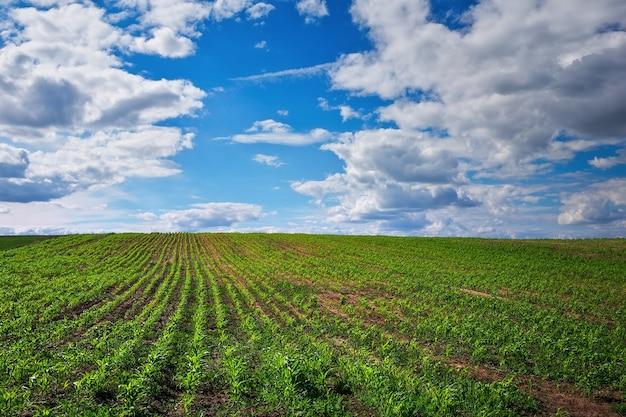 Champ vert avec le jeune maïs et le ciel nuageux bleu