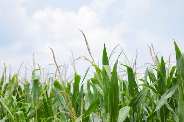 Un champ vert de maïs en inde