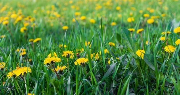 Champ vert avec des pissenlits jaunes. gros plan des fleurs de printemps jaunes sur le terrain