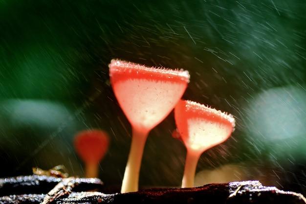 Champagne aux champignons orange