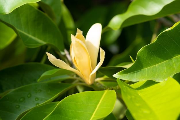 Champaka blanc fleurs et feuilles vertes avec la lumière du soleil