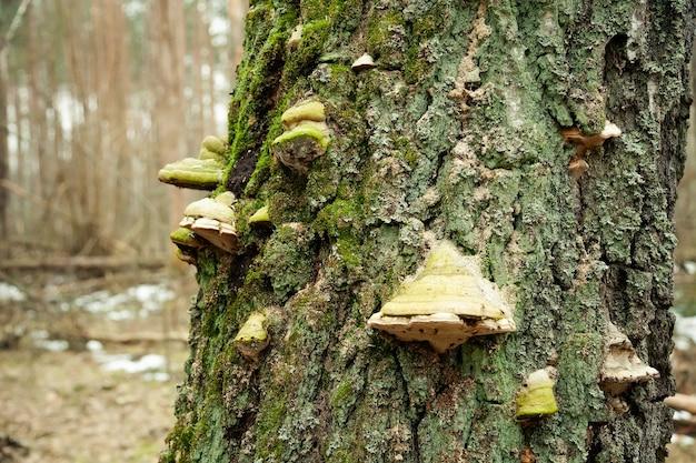 Champignon de l'amadou sur l'arbre. champignon de l'amadou. champignon chaga sur l'arbre. de gros champignons ligneux poussaient sur un tronc d'arbre couvert de mousse.