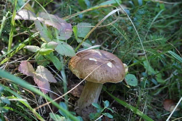Champignon blanc cette année, nous avons eu un été très chaud et les champignons ne l'étaient pas. en septembre, les pluies sont arrivées, et puis tout à coup ont poussé des champignons : cèpes et cèpes, et cèpes, et blancs.
