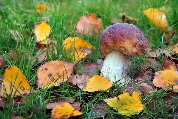 Champignon blanc. champignon cep croissant dans la forêt d'automne.