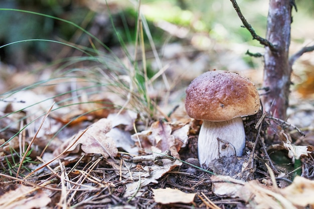 Le champignon blanc mignon pousse dans l'herbe dans la forêt. c'est un aliment diététique végétarien.