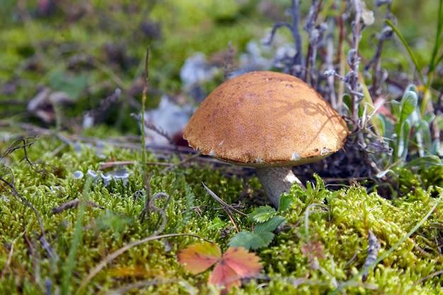 Champignon bolets sauvages sur une pelouse verte. saison de cueillette des champignons