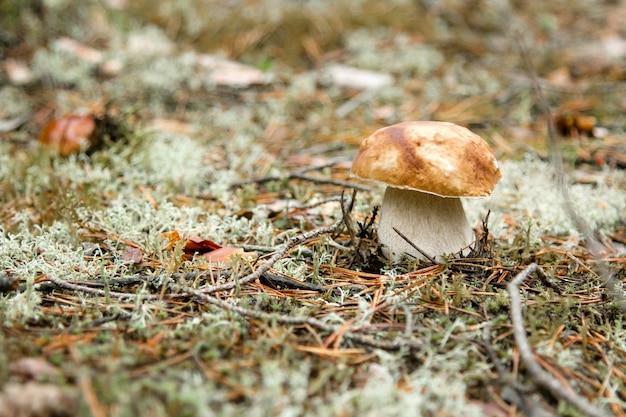 Champignon boletus sur la mousse verte dans la forêt