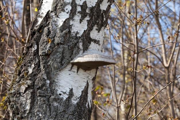 Champignon de bouleau chaga sur un tronc d'arbre