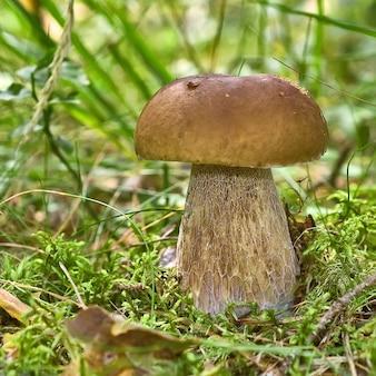 Champignon brun sur la mousse dans une forêt