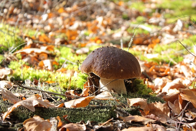 Champignon de cèpe dans la forêt d'automne par temps ensoleillé