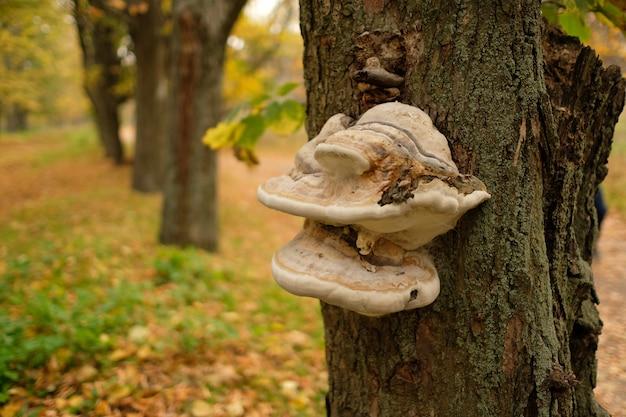 Champignon chaga sur un arbre. champignon parasite sur l'arbre.